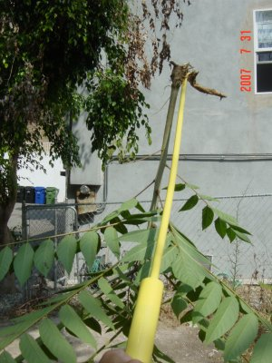 Weed Twister vs. Tree of Heaven - Click for larger image!