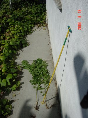 Weed Twister vs. Tree of Heaven